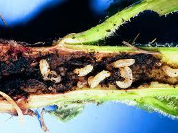 Larvae Thistle Stem Weevil Courtesy Www.oregon.gov